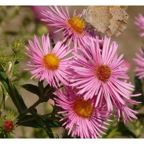 Plante Aster novi-belgii Alice Haslam-Stelute de toamna