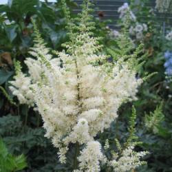 Plante Astilbe chinensis Vision in White-Astilbe