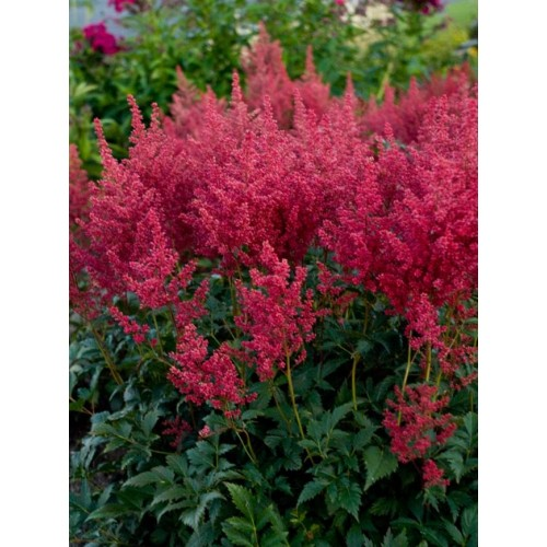 Plante Astilbe japonica Mongomery - Astilbe