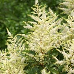 Plante Astilbe japonica Washington-Astilbe