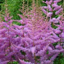Plante Astilbe hybrida Maggie Delay - Astilbe
