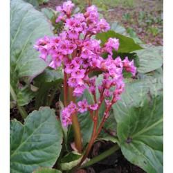 Plante Bergenia cordifolia Rotblum-Urechi de elefant