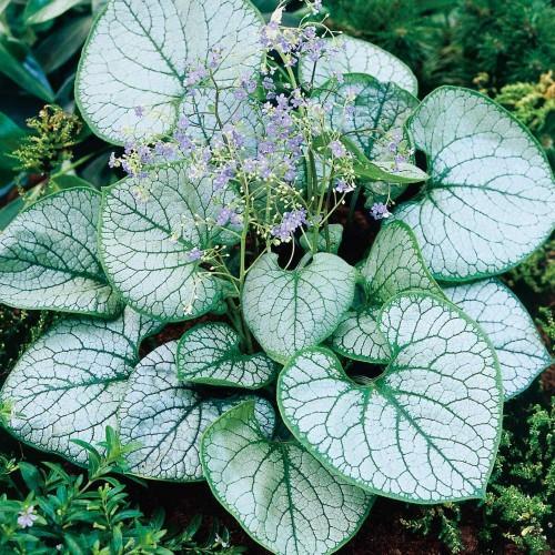 Plante Brunnera macrophylla Jack Frost - Nu-Ma-Uita de Caucaz, Cununita