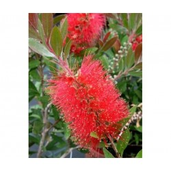Plante CALLISTEMON rigidus - Clopotel australian