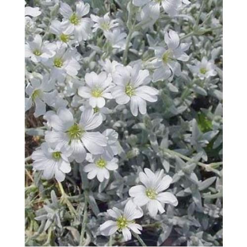 Plante Cerastium bibersteinii - Lana caprelor