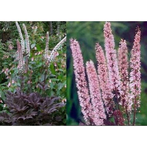 Plante Cimicifuga racemosa Pink Spike - Cosaș negru