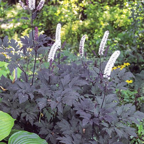 Plante Cimicifuga ramosa Hillside Black Bleauty-