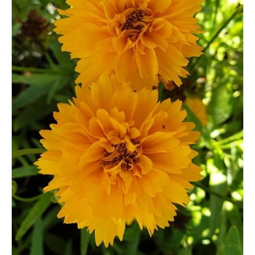 Plante Coreopsis grandiflora Early Sunrise