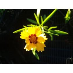 Plante Coreopsis grandiflora Sun Kiss - Lipscanoaie
