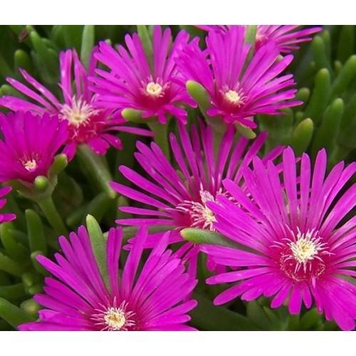 Plante Delosperma cooperi-Ice Plant-Floare de cristal
