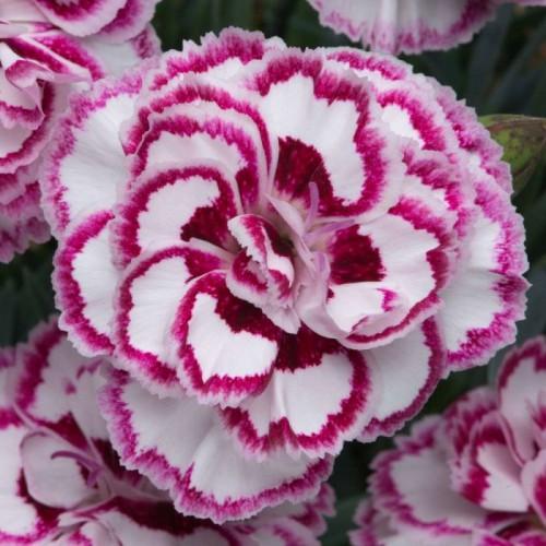 Plante Dianthus caryophillus Gran's Favourite-Garofite