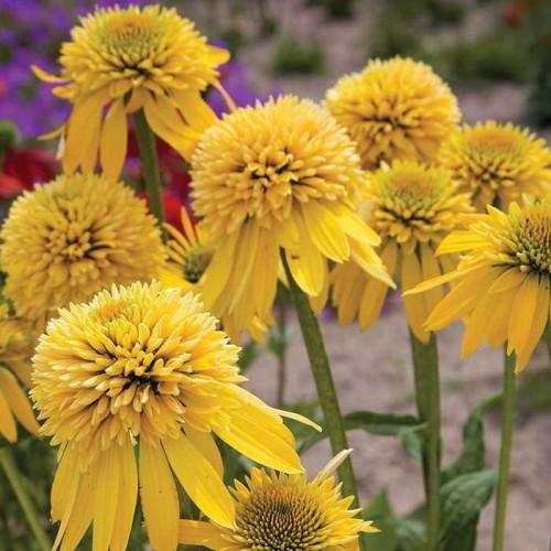 Plante Echinacea purpurea Eccentric Yellow - Echinacea