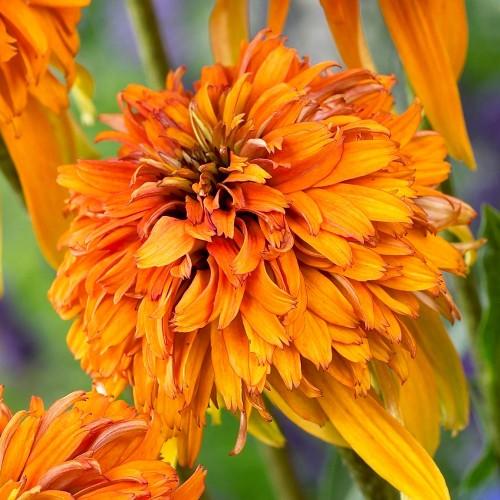 Plante Echinacea purpurea Marmalade-Echinacea