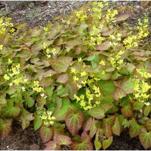 Plante EPIMEDIUM versicolor - Iarba tapului