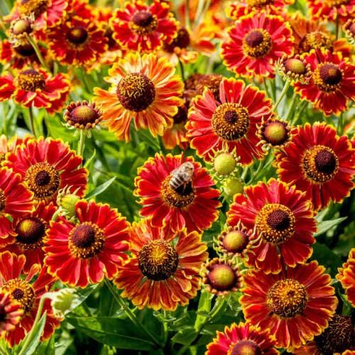 Plante Helenium autumnale Bandera-Floarea Elenei