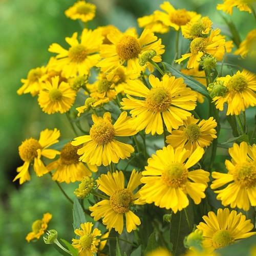 Plante Helenium autumnale Sombrero-Floarea Elenei
