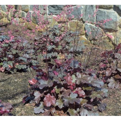 Plante Heuchera Berry Marmelade - Heuchera