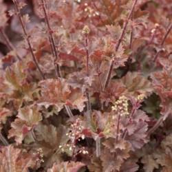 Plante Heuchera Cappucino - Heuchera