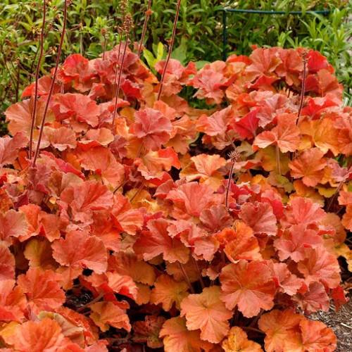 Plante Heuchera Northern Exposure Amber - Heuchera