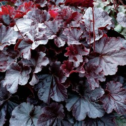 Plante Heuchera Northern Exposure Black - Heuchera