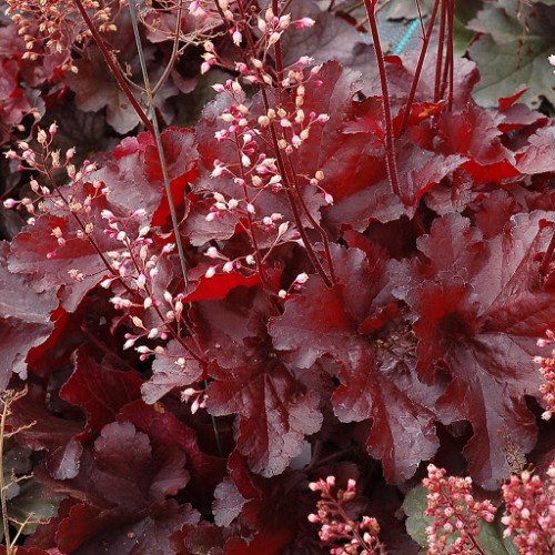 Plante Heuchera Northern Exposure Red - Heuchera