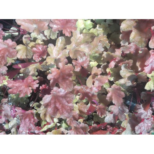 Plante Heuchera Peach Flambe-Heuchera