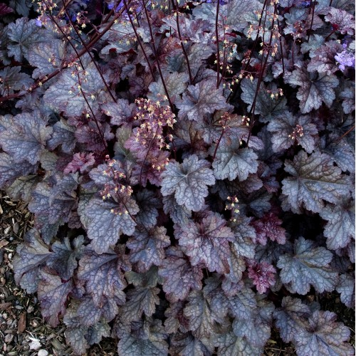Plante Heuchera Plum Pudding-Heuchera
