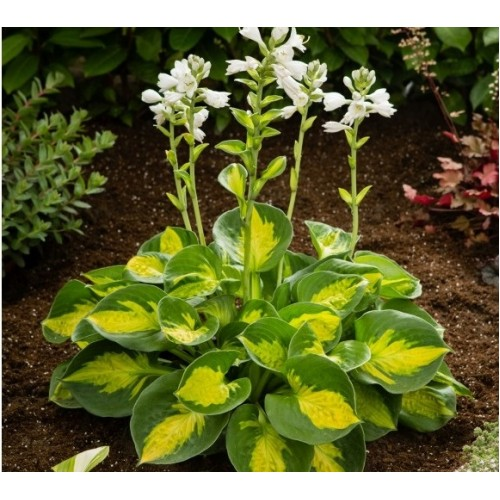 Plante Hosta Sunset Grooves - Crin de toamna
