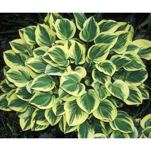 Plante Hosta Anne-Crin de toamna