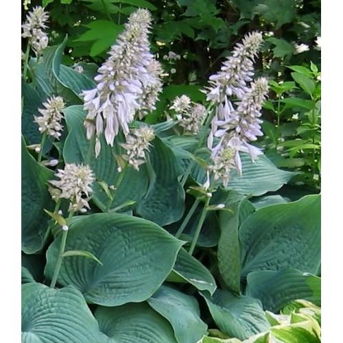 Plante Hosta Blue Angel - Crin de toamna