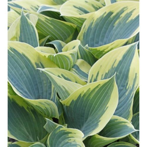 Plante Hosta First Frost-Crin de toamna