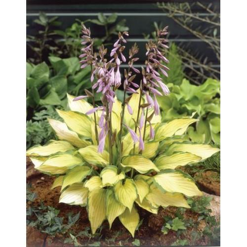 Plante Hosta Lady Guinevere - Crin de toamna