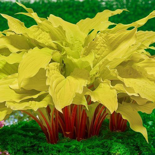Plante Hosta Lipstick Blond-Crin de toamna