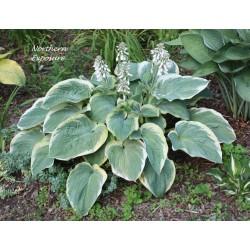Plante Hosta Northern Exposure - Crin de toamna