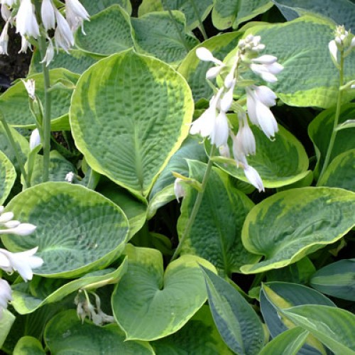 Plante Hosta Olive Bailey Langdon-Crin de toamna