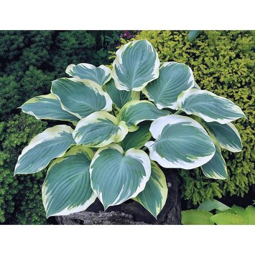 Plante Hosta Orion's Belt - Crin de toamna