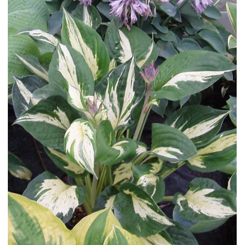 Plante Hosta Pathfinder - Crin de toamna