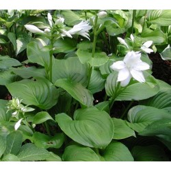 Plante Hosta plantaginea Aphrodite - Crin de toamna