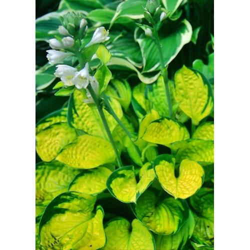 Plante Hosta Rainforest Sunrise - Crin de toamna