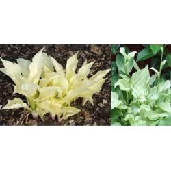 Plante Hosta White Feather - Crin de toamna