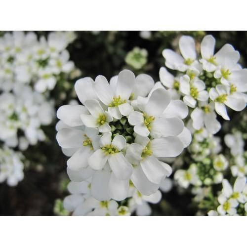 Plante Iberis semp. Snow Cone - Lilicele