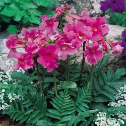 Bulbi Incarvillea delavayi - Trompeta chinezeasca sau Gloxinia de gradina