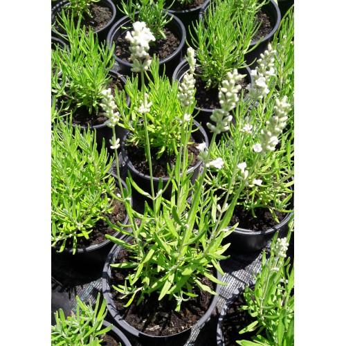 Plante Lavandula angustifolia White -Lavanda