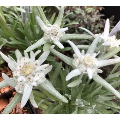 Plante Leontopodium alpinum Edelweiss - Floare de colt