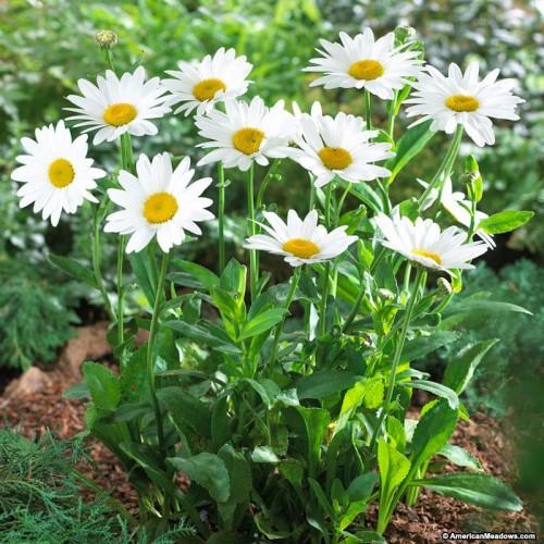 Plante Leucanthemum superbum Becky - Margareta tarzie