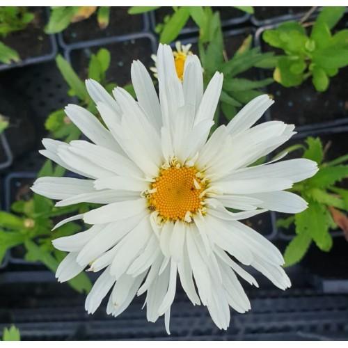 Plante Leucanthemum superbum Crazy Daisy