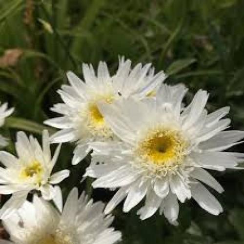 Plante Leucanthemum superbum Wirral Supreme - Margareta