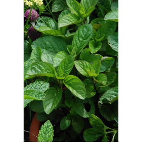 Plante Mentha rotundifolia Eau de Cologne
