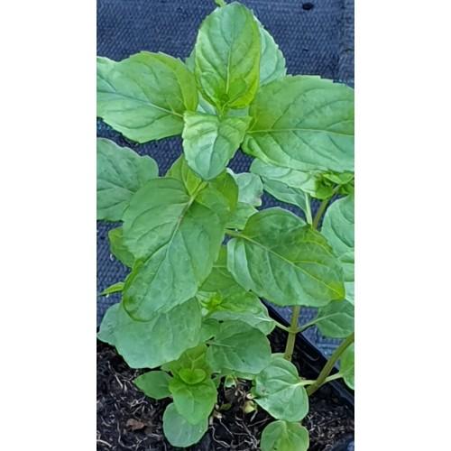 Plante Mentha piperita Citrata - Menta