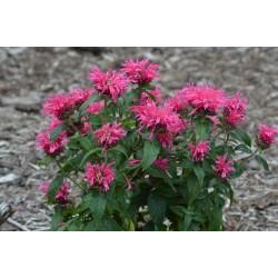 Plante Monarda Cranberry Lace - Menta indiana